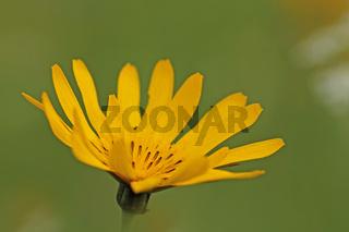 Gewoehnlicher Wiesen-Bocksbart (Tragopogon pratensis)