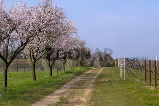 Mandelbaumblüte(Prunus dulcis)