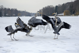 Graureiher,Ardea cinerea, streiten im Winter