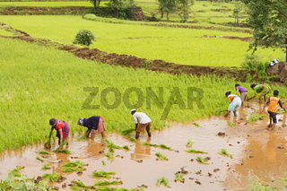 Farmers planting rice saplings near Bhor, Pune
