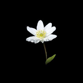 White spring wild flower wood anemone