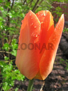 Spring flower - orange tulip