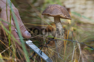 Mushroom cutting in the forest - close up view of hand with knife and big boletus