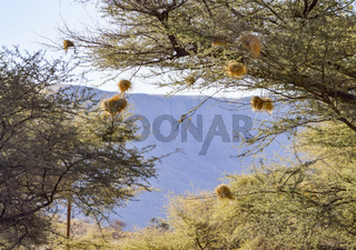 birds nests in Namibia