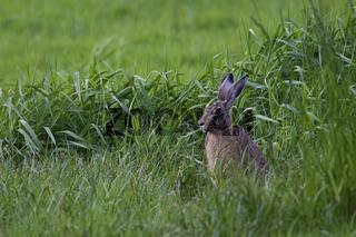 Hase sitzt auf den Rasen