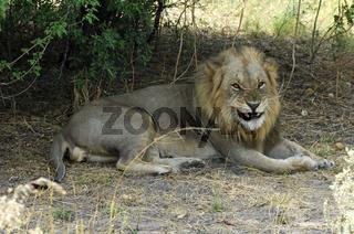 Fauchender Männlicher Löwe  (Panthera leo)