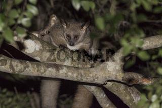 Großohr-Riesengalago (Otolemur crassicaudatus), klettert im Baum