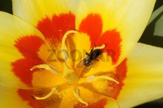 Tulipa kaufmanniana, Seerosen-Tulpe, Kaufmanniana Tulip, mit Wildbiene, with wild bee