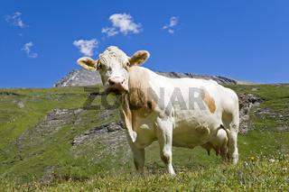 Kuh auf Weide, Grosssslockner Hochalpenstrasse, Nationalpark Hohe Tauern, Kaernten, Oesterreich, Cow on pasture, Grossglockner High Alpine Road, Carinthia, Austria