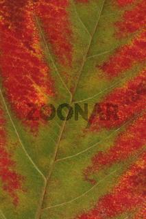 Blatt einer Felsenbirne in Herbstfarben (Amelanchier)