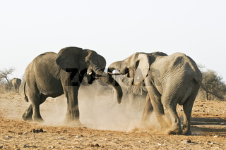 Afrikanischer Elefant (Loxodonta africana), Bullen beim Kaempfen, Etosha-Nationalpark, Namibia, Afrika, African Elephant, African Elephant, Etosha NP, Africa