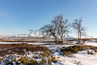 three mountain birch trees with winter mountains in the background in Dovre, Norway.