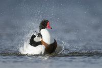 shaking off the water... Shelduck *Tadorna tadorna*