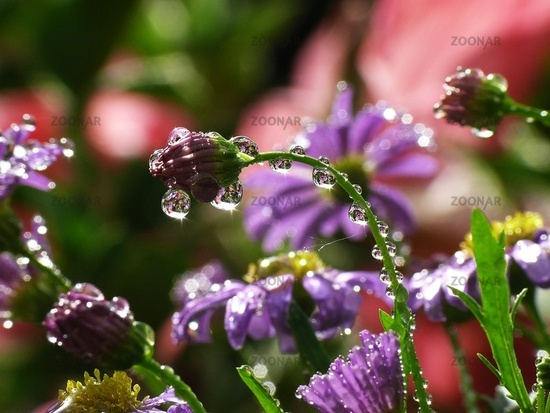 Daisy with Waterdrops