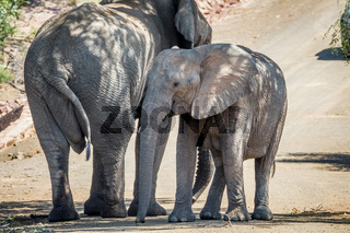 Two Elephants standing under a tree in the shade.