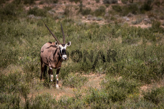 Oryx standing in the grass and looking.