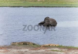 Elefant tot-dead