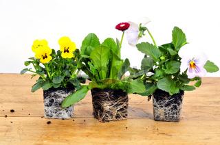 Stiefmütterchen Blumen Frühling
