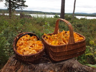 Pilzkörbe mit Pfifferlingen in Värmland in Schweden