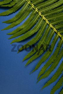 Fragment of a fern leaf close-up on a dark blue background.