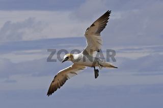 Basstoelpel, Morus bassanus, Northern gannet