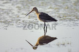 Uferschnepfe und Spiegelung, Limosa limosa,  Black-tailed Godwit, reflection