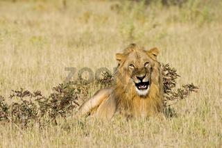 Loewe (Panthera leo), maennlich, Etosha-Nationalpark, Namibia, Afrika, male Lion, Etosha NP, Africa