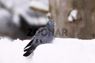 Hohltaube, Columba oenas, stock dove