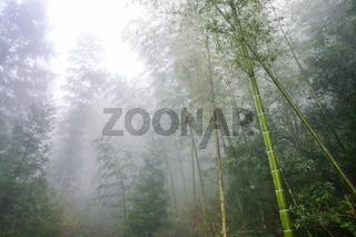 wet trees in mist rainforest in area of Dazha
