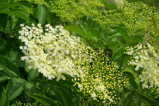 Holunder Blüte