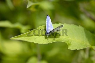 Schmetterlinge_Celastrina argiolus_090106_10