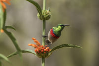 Southern double-collared sunbird or lesser double-collared sunbird (Cinnyris chalybeus)
