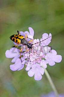 Strangalia maculata, Gefleckter Schmalbock