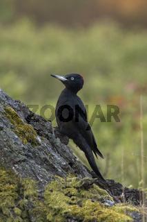 ein Weibchen... Schwarzspecht *Dryocopus martius*