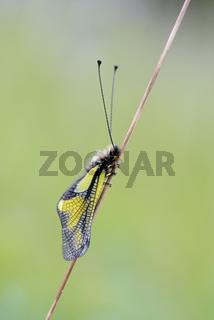 Libellen Schmetterlingshaft, Libelloides coccajus, Owlfly sulfur Ascalaphid