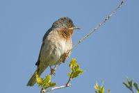 Weissbartgrasmuecke Subalpine Warbler, Sylvia cantillans