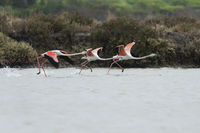 Greater flamingo starting, Phoenicopterus roseus, Rosaflamingo