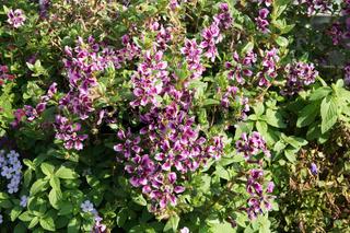 Cuphea ilavea Lavender Vienco