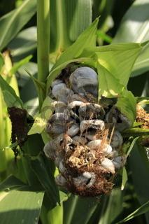 maisbeulenbrand an einer maispflanze