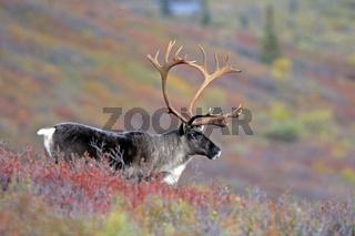 Karibu / Alaska-Karibu / Rentier / Karibubulle / Rangifer tarandus granti