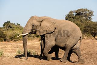 Afrikanische Elefant (Loxodonta africana), Afrika, Botswana, Tuli Block