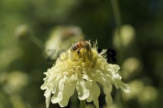 Cephalaria gigantea, Riesen-Schuppenkopf, giant cephalaria, mit Biene, with bee