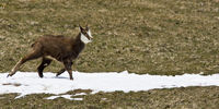 young chamois in spring