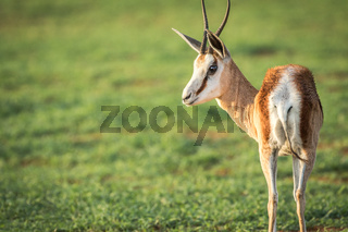 Side profile of a Springbok in Etosha.