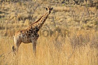 Giraffe (Giraffa camelopardalis) Pilanesberg National Park, Game Reserve, Suedafrika, Afrika, Giraffe, Pilanesberg Game Reserve, South Africa