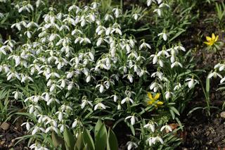 Galanthus nivalis, Schneegloeckchen, Snowdrop