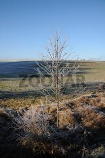 Prunus avium, Vogelkirsche, Sweet Cherry, Reif, White Frost