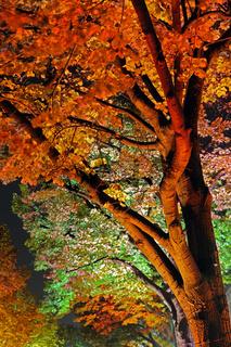 farbig illuminierte Lindenbaume, Linden , Tilia, Strasse unter den Linden, Berlin, Deutschland, Europa, Festival of Lights 2009
