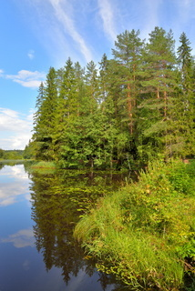 Landscape with blue sky, pine trees and a river with thickets of water lilies
