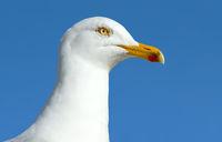 A seagull sea bird close up.